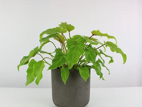 Thaumatophyllum xanadu 'Gold'