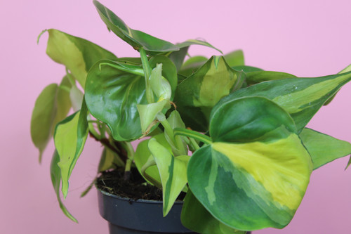 Root Houseplants Buy Plants Online Based In Liverpool
