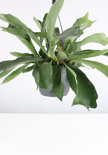 Platycerium bifurcatum - Staghorn fern