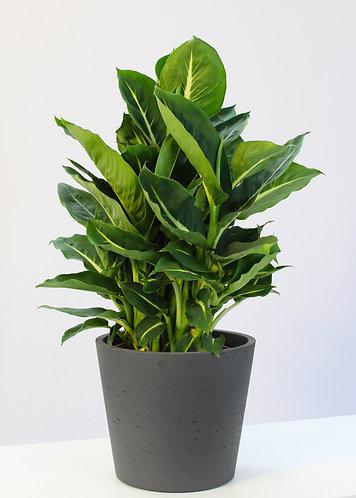 Dieffenbachia 'Green Magic'