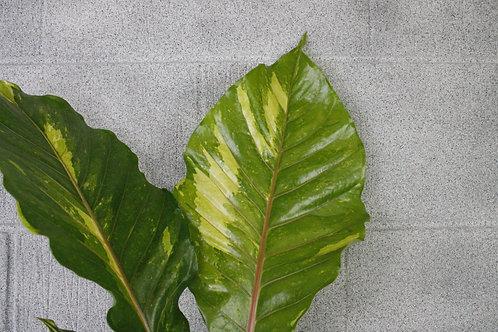 Anthurium hookeri variegata