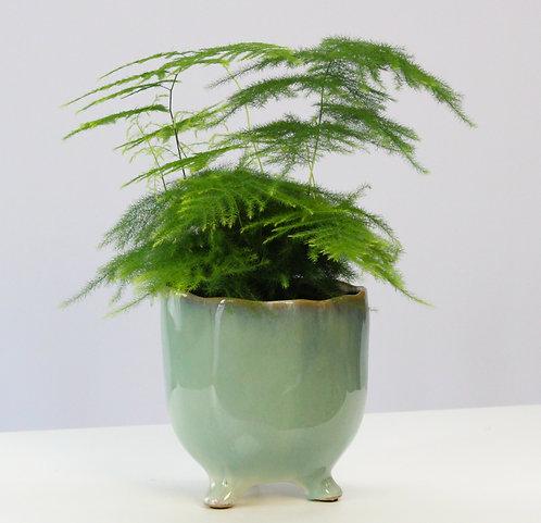 Asparagus setaceus - Asparagus fern