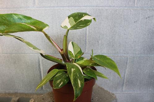 Philodendron erubescens 'White Princess'
