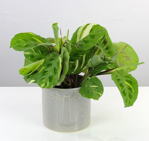 Maranta leuconeura var. kerchoveana variegata