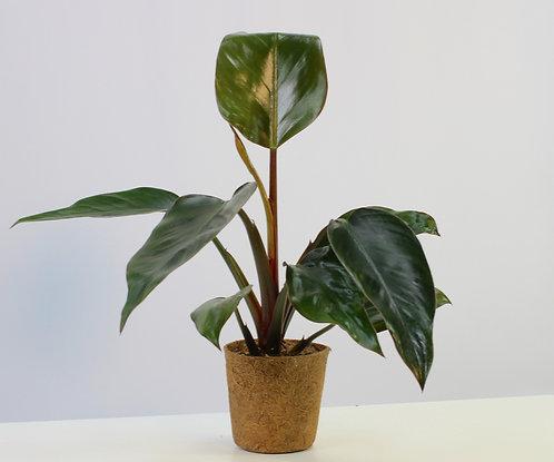 Philodendron 'Rojo Congo'