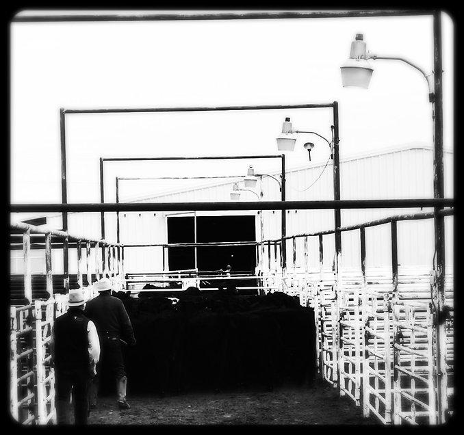 sorting cattle 4_edited.jpg