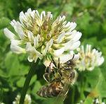 clover-bee.jpg