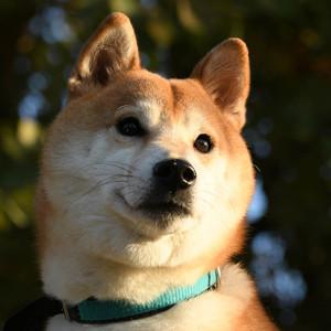 柴犬の忠誠