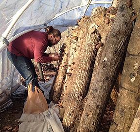 harvesting shiitake mushrooms