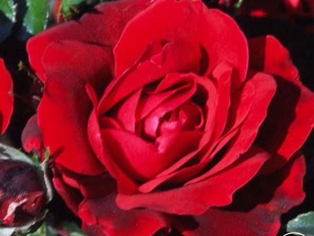 Goth Garden: Heirloom Roses