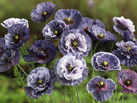 Goth Garden: Whole Seed Catalog
