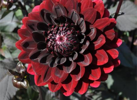 Goth Garden: Swan Island Dahlias