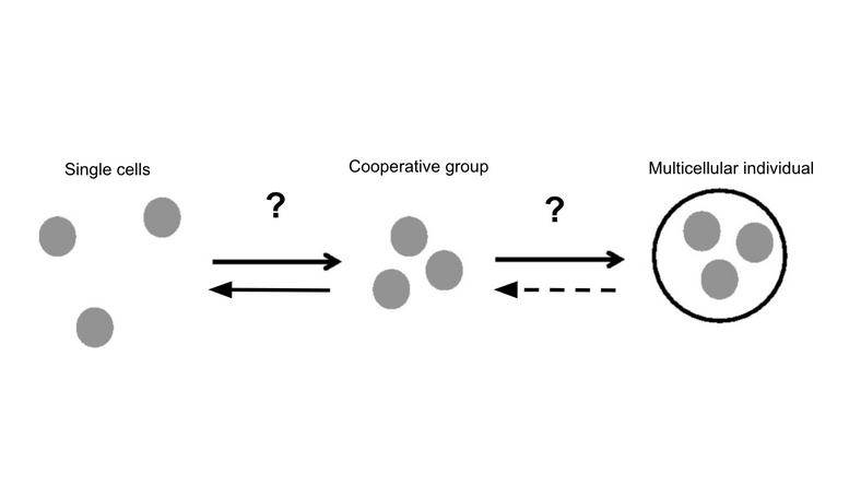 A major transitions framework for the evolution and breakdown of multicellularity.