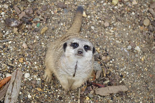 Meerkat at Lee Valley Park Farms