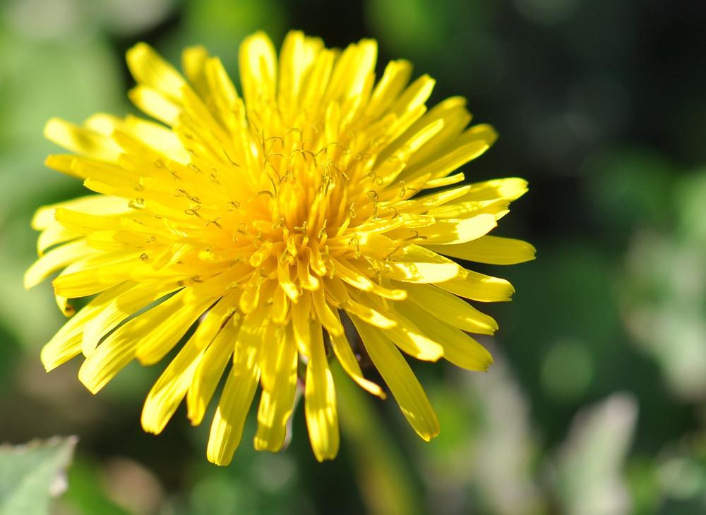 dandelion_herbs_flower.jpg