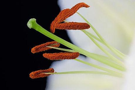 Amarylis nectar.jpg