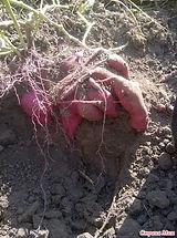 Батат Винницкий розовый