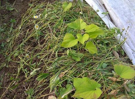 Получение ростков с клубней.
