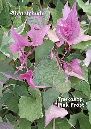 """""""Триколор"""" или """"Pink Frost"""", декоры, батат"""