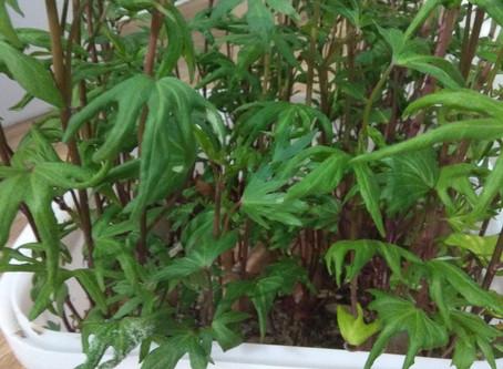 Выращивание Батата и обрезка ростков