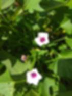 цветы батата