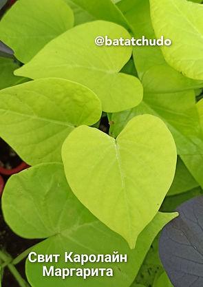 """Маргарита """"Marguerite"""" (зелёное сердце), декоры, батат"""