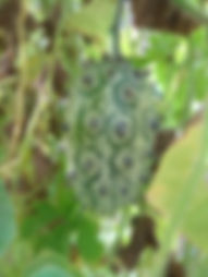 Кивано - рогатый огурец