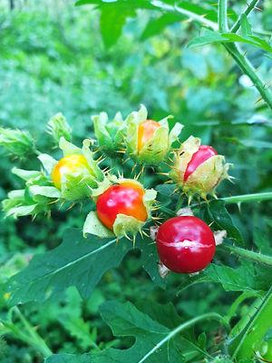 Личи томат , Паслен