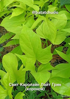 Sweet Caroline Light Green (корона), декоры, батат