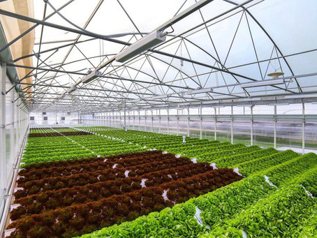 Growing French lettuces in winter made possible