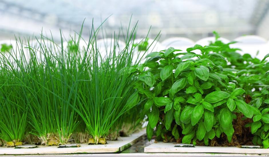 Premium quality Basil and Chives growing in Aeroponics