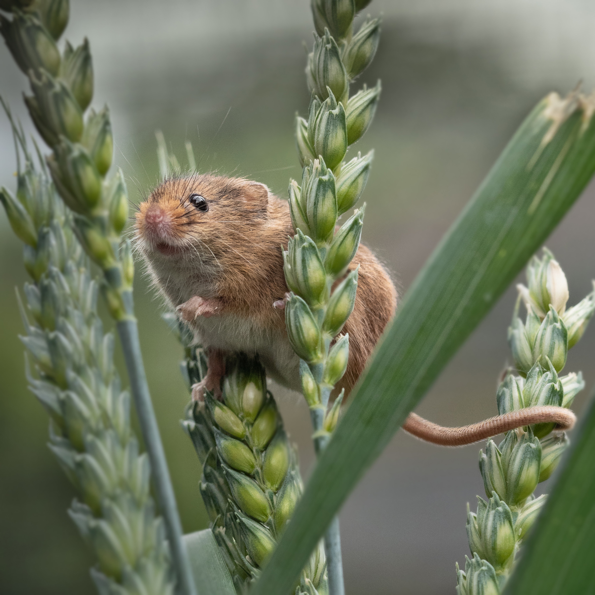 Harvest Mouse in the Corn