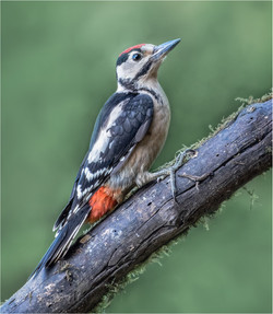Woodpecker on the Rise