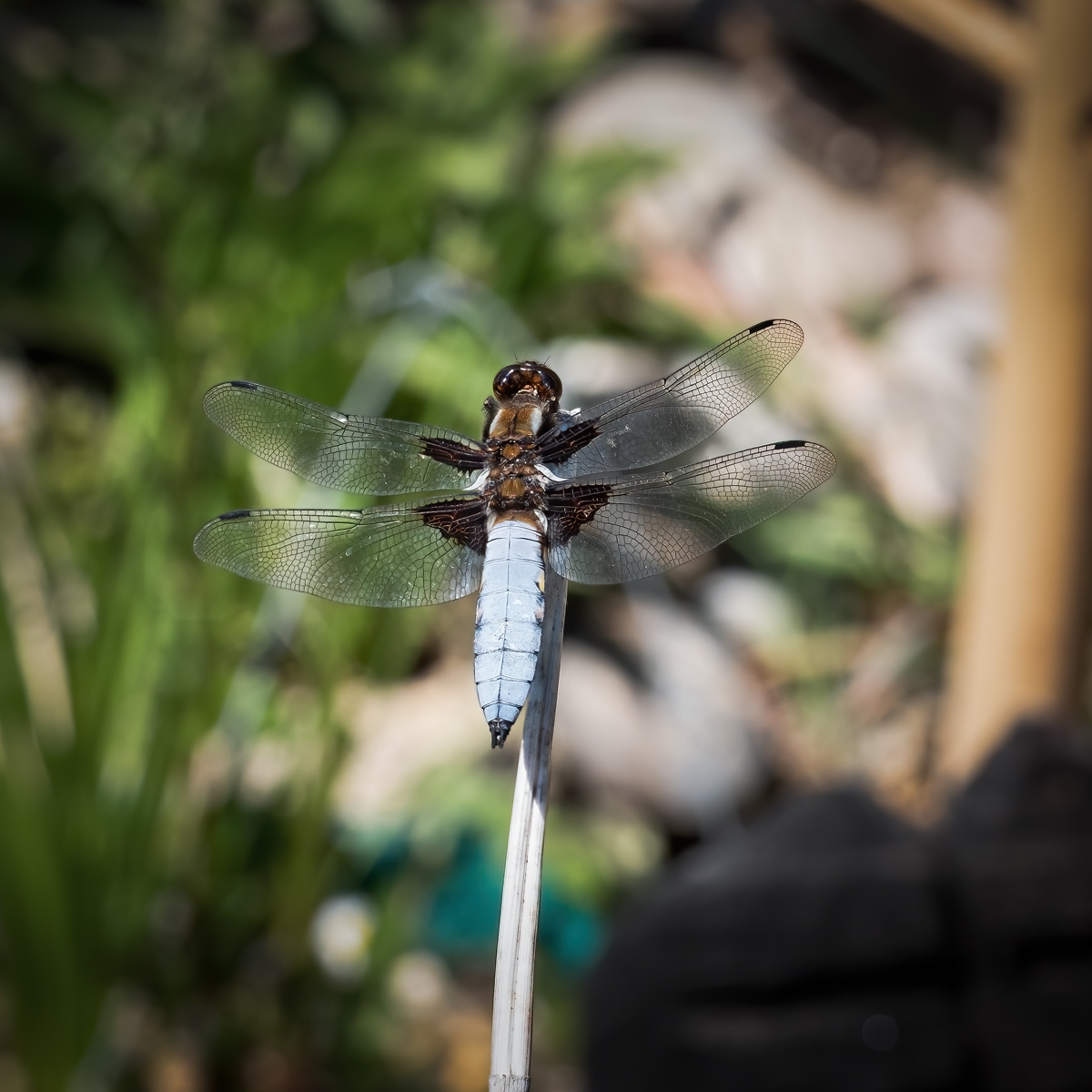 press- broad bodied chaser male 1 pdi-2.