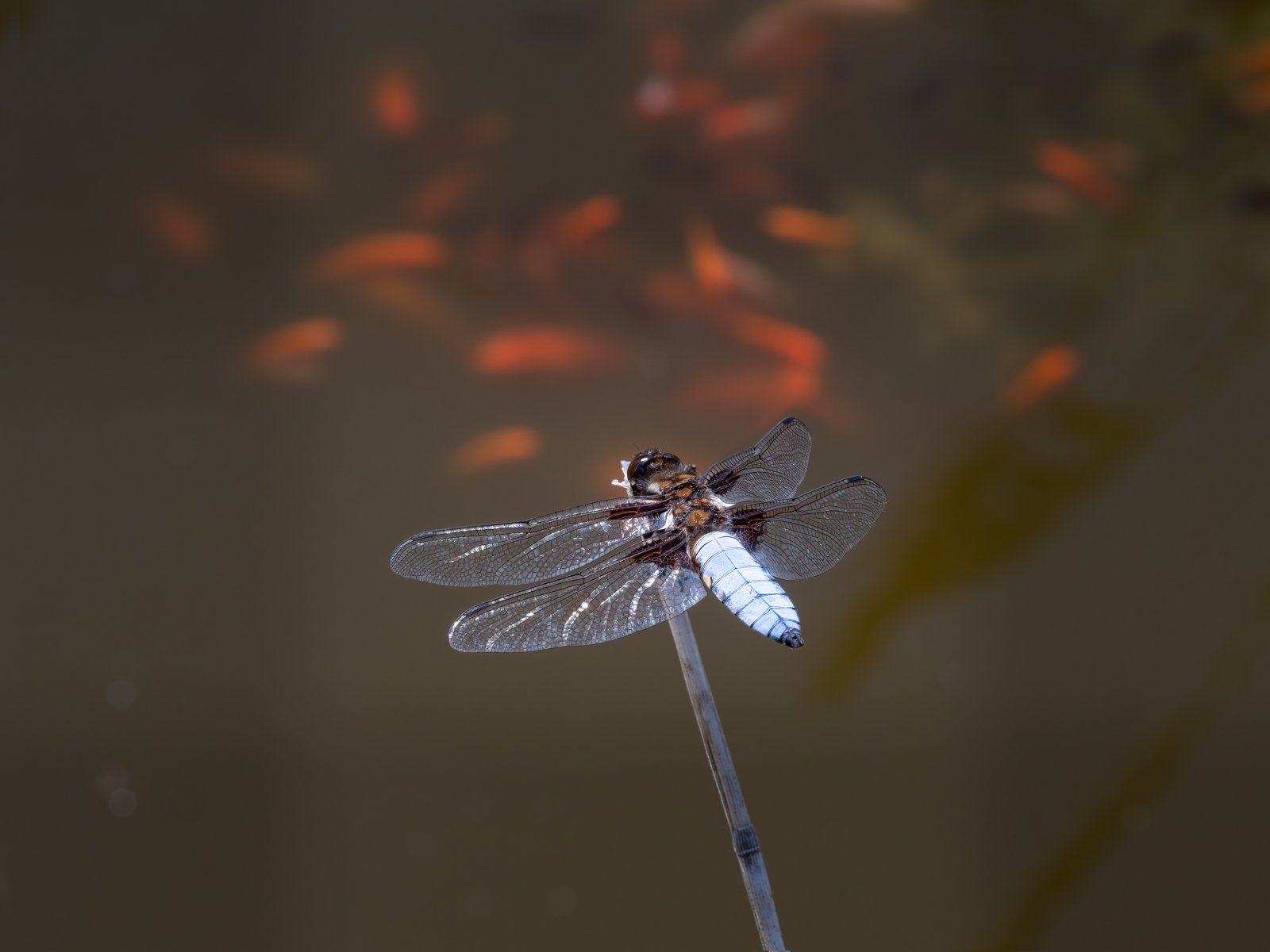 press- broad bodied chaser male 3 pdi