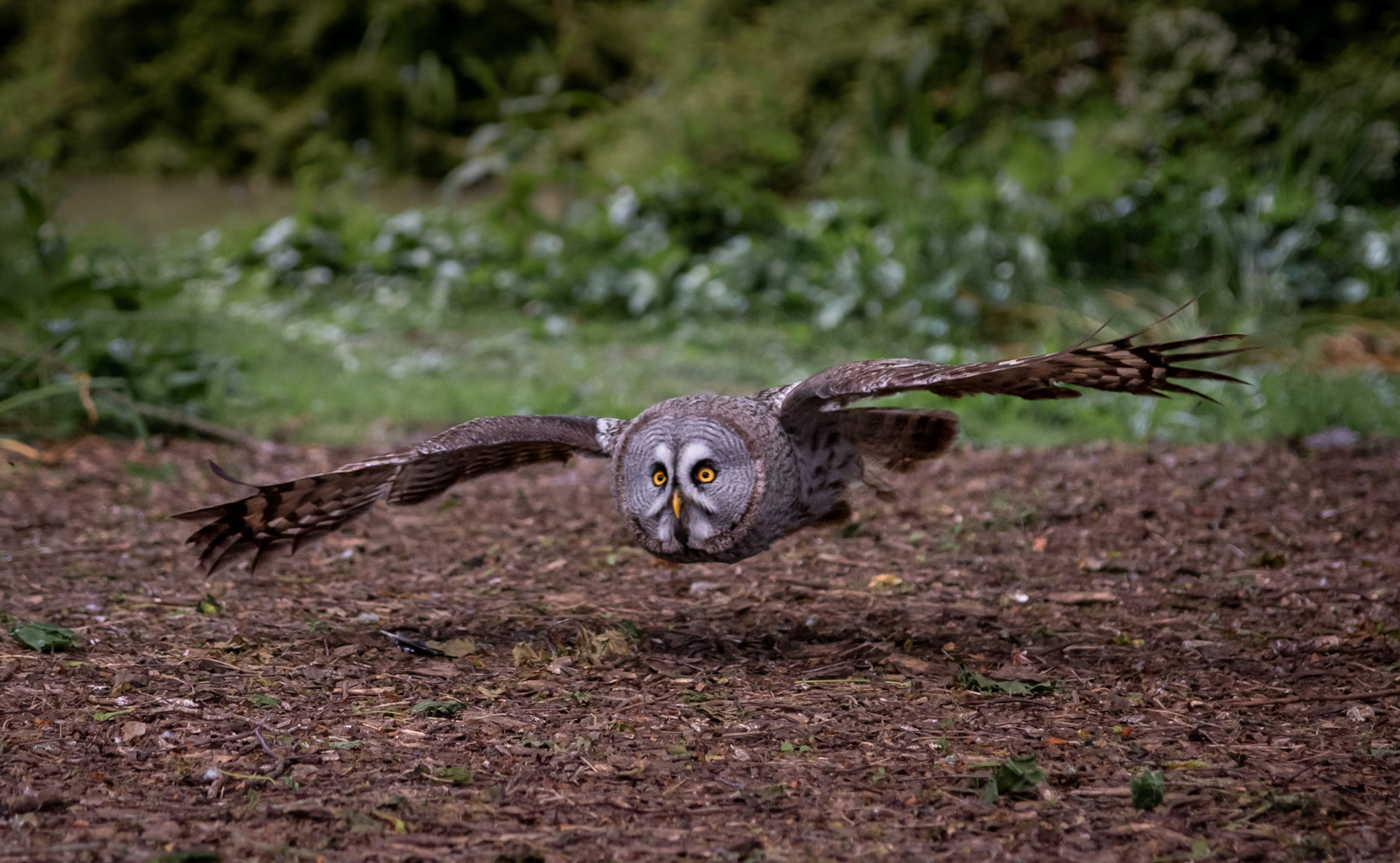 Low Flight Great Grey Owl