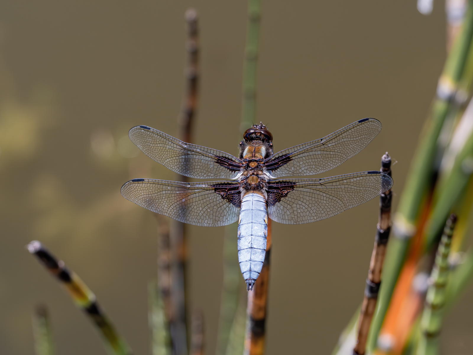 press- broad bodied chaser male 5 pdi