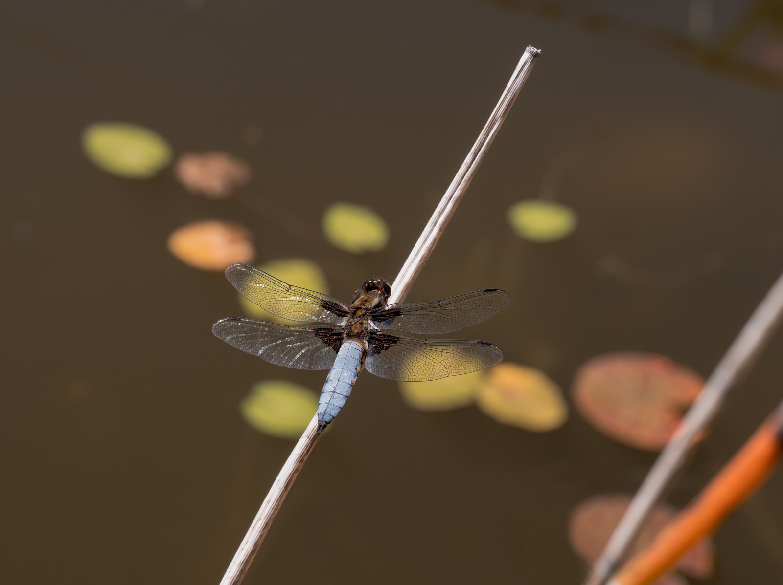 press- broad bodied chaser male 2 pdi