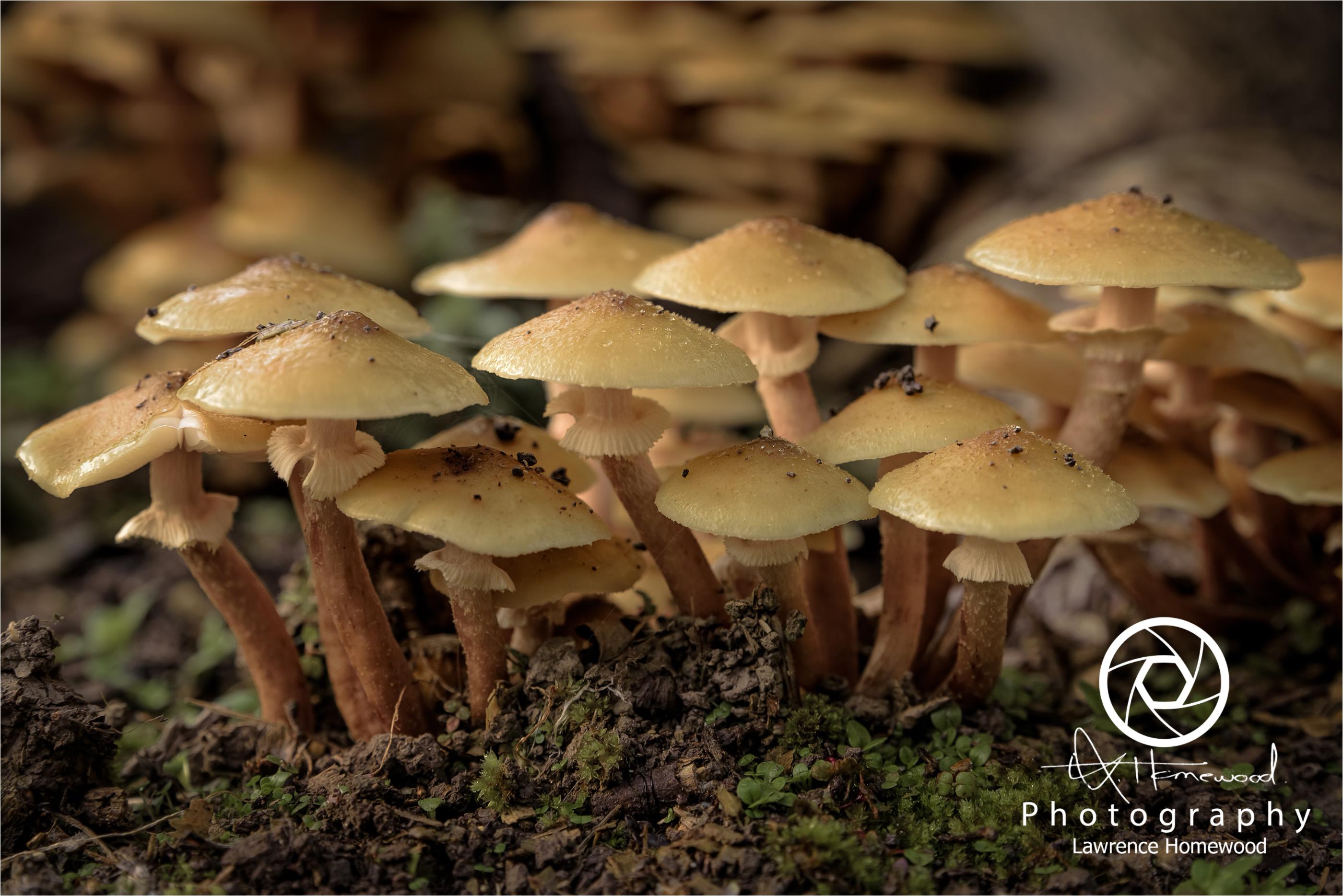 Deathcap Mushrooms Amanita Phalloi
