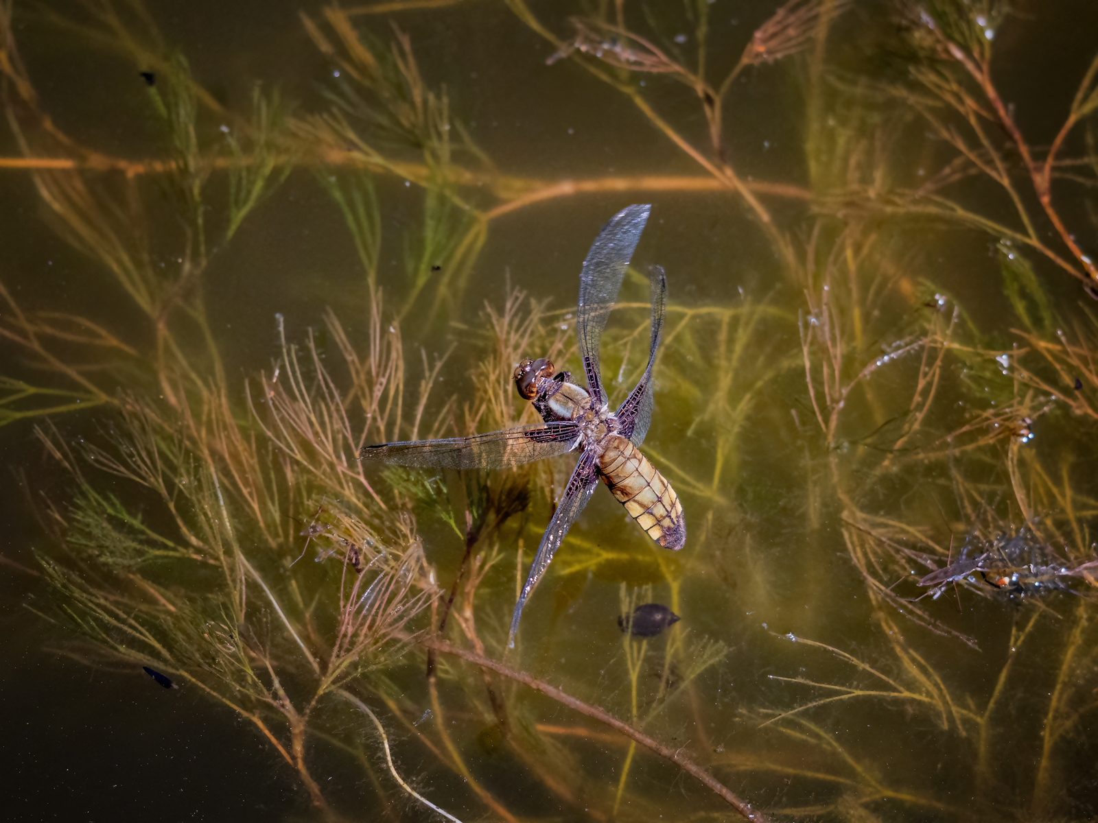 press- female broad bodied chaser laying