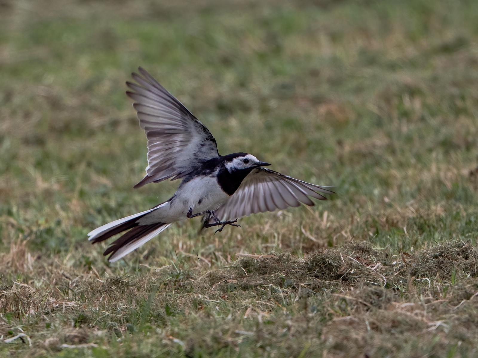 wagtail in flight pdi