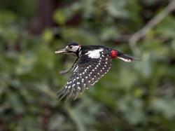 woodpecker in flight pdi