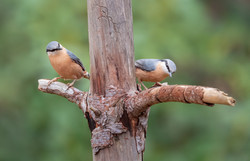 Nuthatches - 2