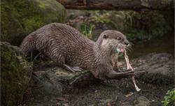 Asain Short Clawed Otter