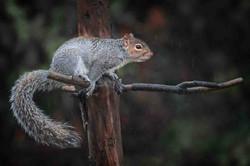 Squirrel in the rain