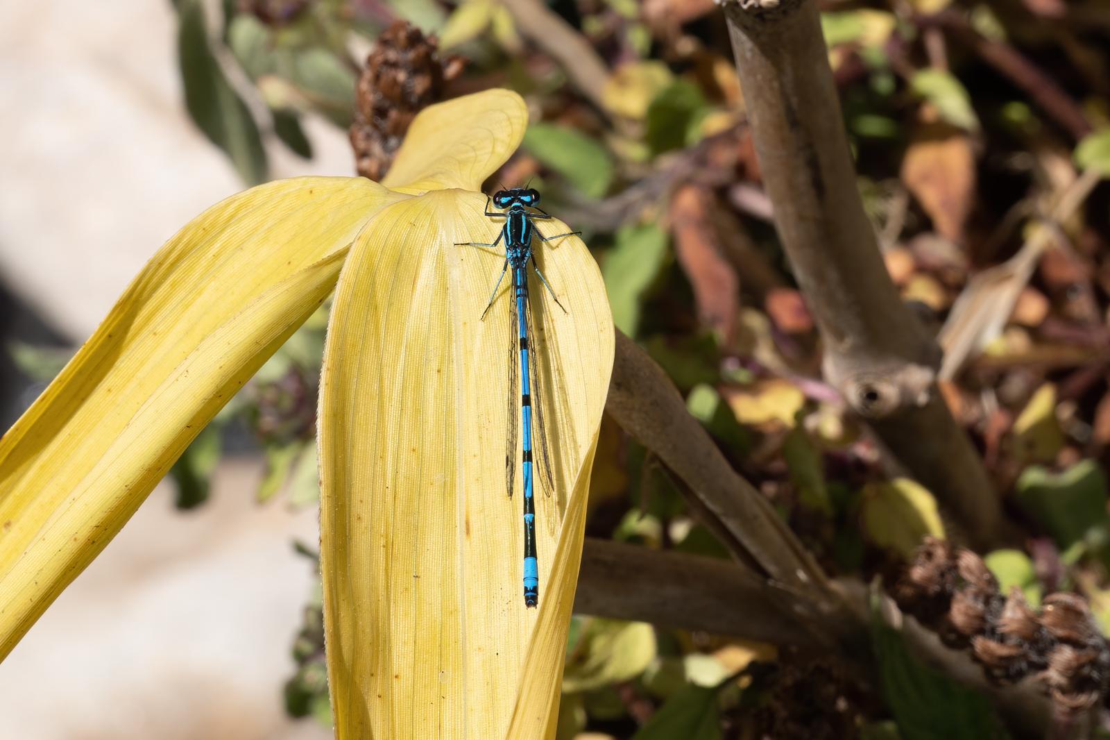press- common blue damselfly pdi 1