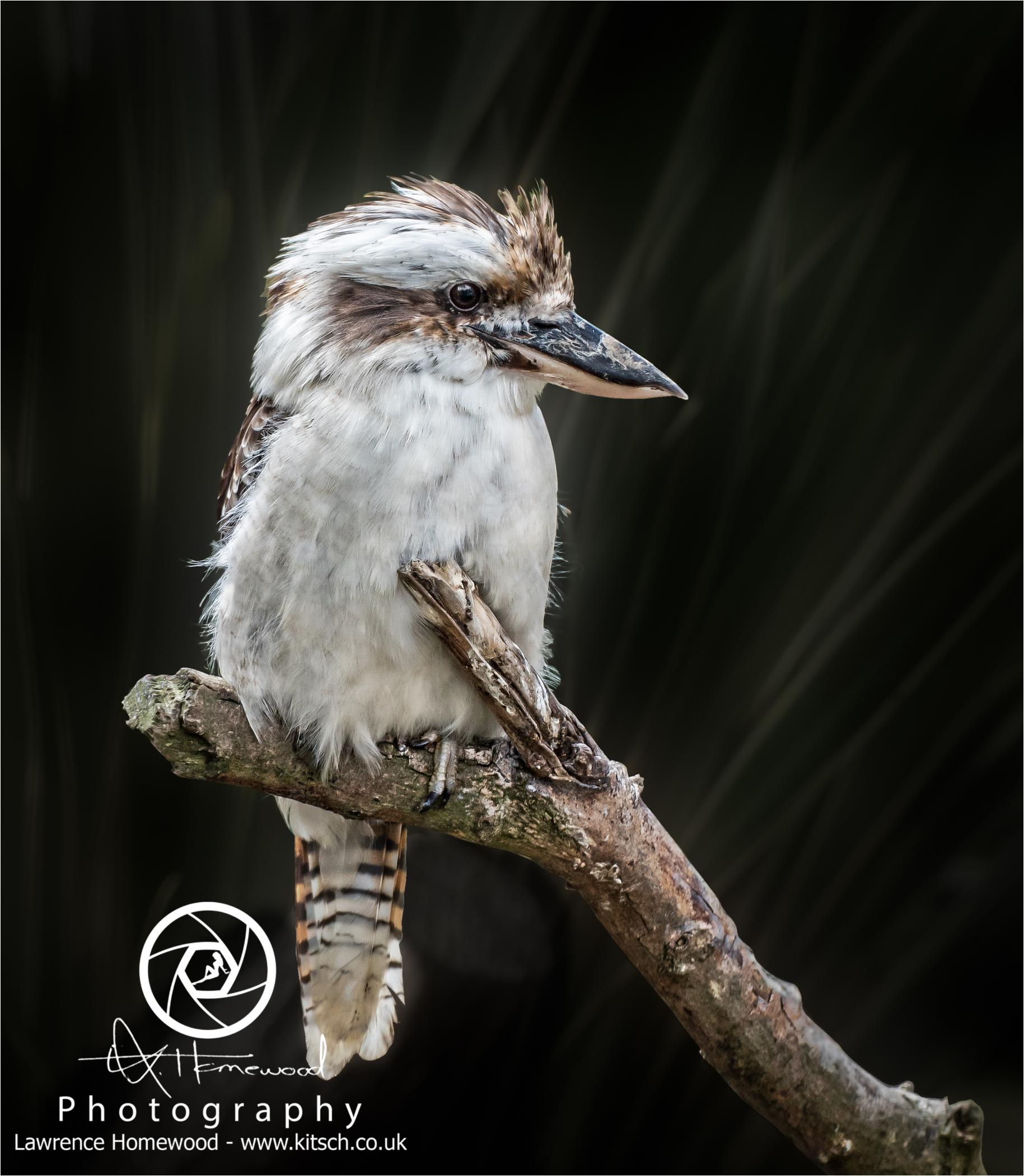 Kookaburras Dacelo Novoeguineae