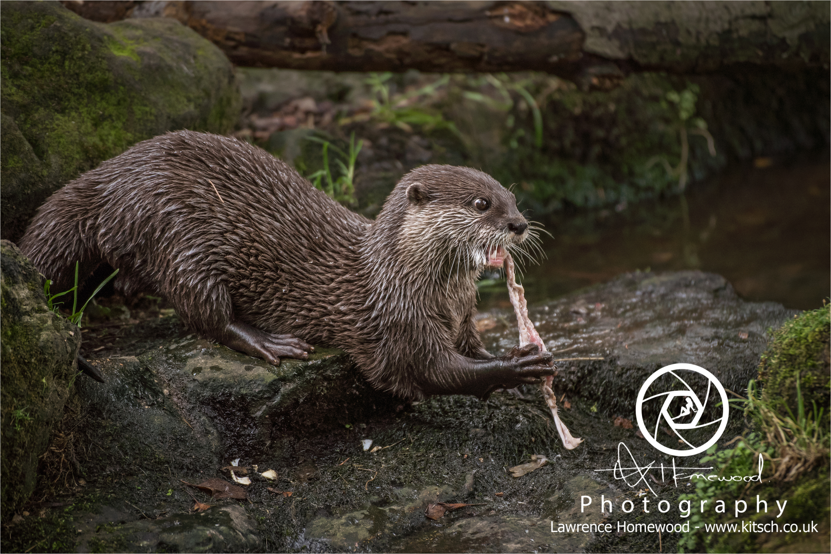 Asian Short Clawed Otters Aonyx Cinerea
