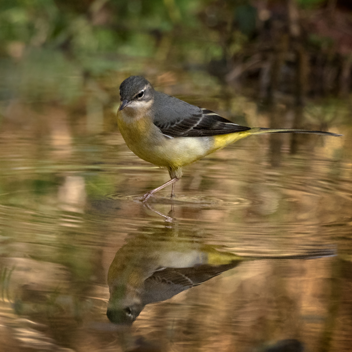 Grey Wagtail Reflections