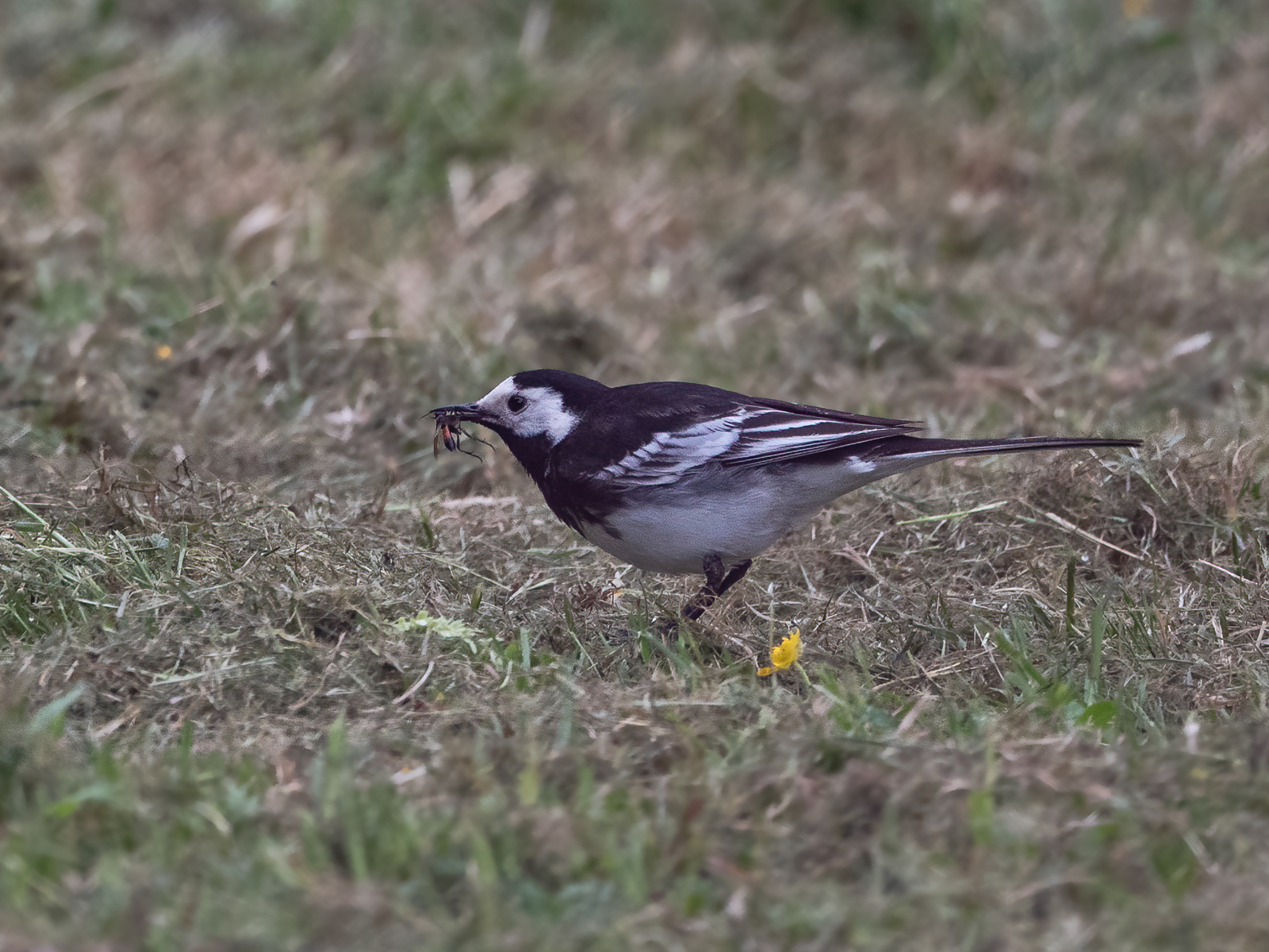 wagtail with bugs pdi